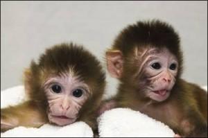 'Mito' (izquierda) y 'Tracker', los gemelos de macaco que fueron los primeros en nacer tras el experimento. - NATURE